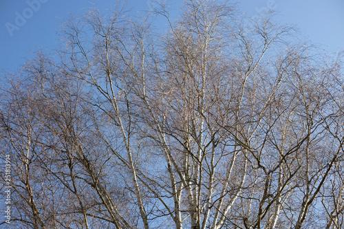 Birken Baum im winter mit blauen Himmel - 251813914