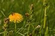 yellow dandelion flower in a green grass