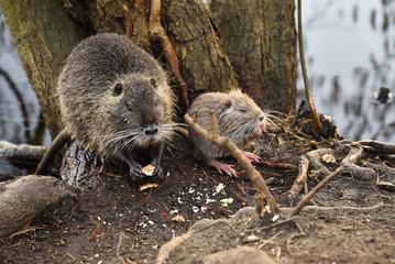 nutria wild animal eats bread