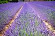 Lavendel Feld Sommer