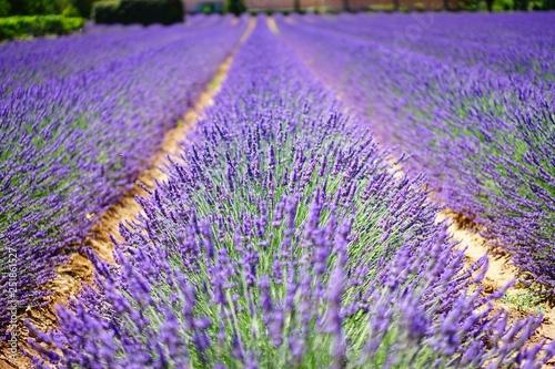 Lavendel Feld Sommer - 251861527