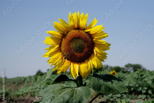 sunflower in the field