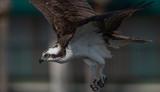 Fototapeta Fototapety ze zwierzętami  - Osprey  © Harry Collins