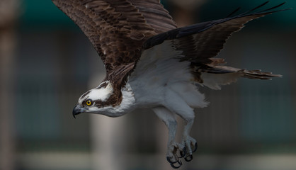 Osprey  © Harry Collins