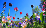 Fototapeta Tulipany - Blumenwiese im Frühling © Janina Dierks