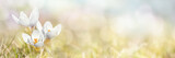 Spring, Crocus Flowers, xxl+more: bartussek.xmstore