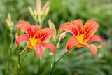 Orange lilies in the garden on a green blurry background_