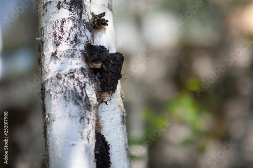 Chaga Mushroom on a Birch - 252017908