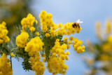 ミモザとミツバチ
