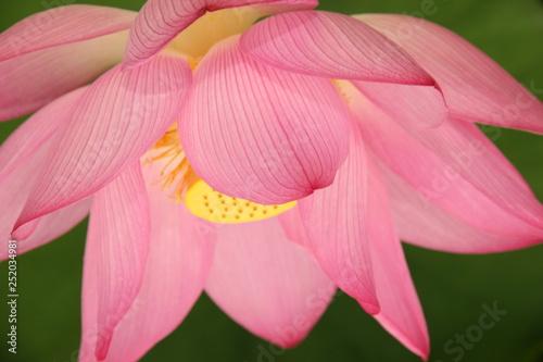lotus - 252034981