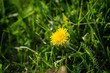 Summer green nature with dandelion