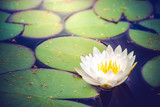 Pure and divine white water lily flower in a blue water surrounded by wide green leaves
