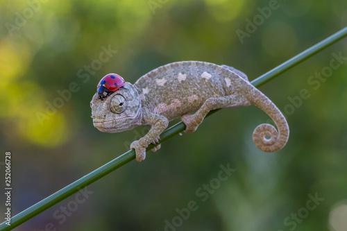 chameleon and ladybug