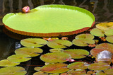 Giant Lily Pad and Smaller Pads