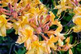 Orange Colored Native Azalea Flower in Bloom