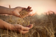 Leinwanddruck Bild - man pours wheat from hand to hand on the background of wheat field