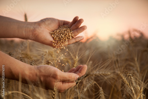 Leinwanddruck Bild man pours wheat from hand to hand on the background of wheat field