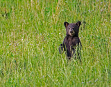 Fototapeta Zwierzęta - A baby Black Bear standing in green grass. © bettys4240