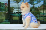 Fototapeta Zwierzęta - white pomeranian small dog cute pet wear clothes sitting on bench © sutichak