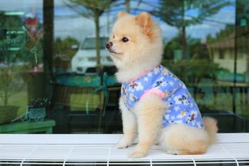 white pomeranian small dog cute pet wear clothes sitting on bench © sutichak