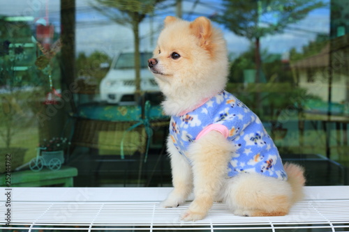 white pomeranian small dog cute pet wear clothes sitting on bench