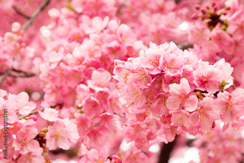 早咲きの河津桜のクローズアップ - 252155781