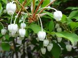 ドウダンツツジ 小さくて可愛い釣り鐘型の白い花のクローズアップ