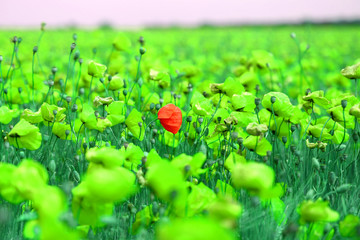 Bright retro macro photo of beautiful poppy field