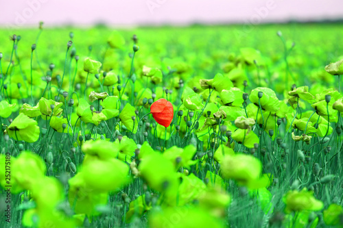 Bright retro macro photo of beautiful poppy field © tanor27