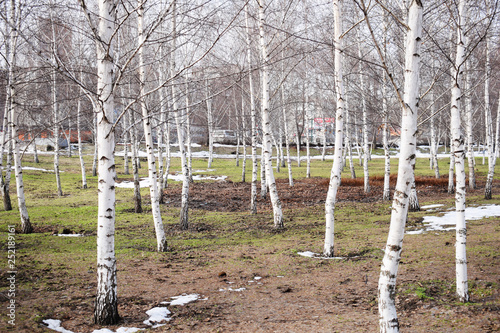 Bare birch trees. A birch tree forest in early spring. Path, forest background - 252189161