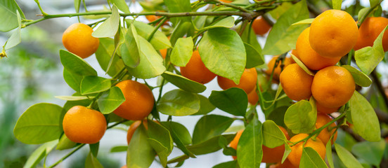 Ripe orange tangerines on a branch.