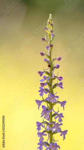 Marsh Fragrant Orchid crop