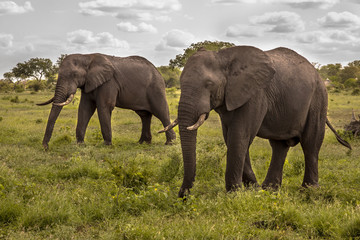 Two African Elephants walking