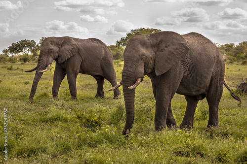 Two African Elephants walking © creativenature.nl