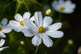 Fototapeta Kosmos - White cosmos flowers © pikumin
