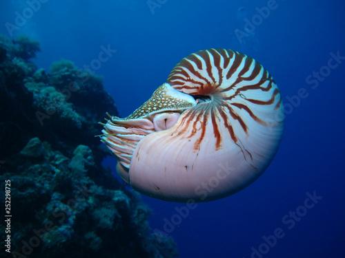 obraz PCV Incredible underwater world - Nautilus pompilius. Diving, underwater photography in Palau.
