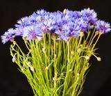 Close-up bouquet of beautiful blue cornflowers on black background.