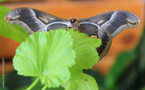 obraz PCV Butterfly Samia cynthia closeup