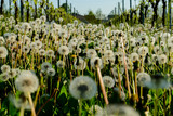 Fototapeta Dmuchawce - flowers in the garden, in North Veneto Region , Italy © underworld