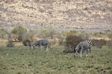 Zebra at Pilanesberg National Park, North West Province, South Africa