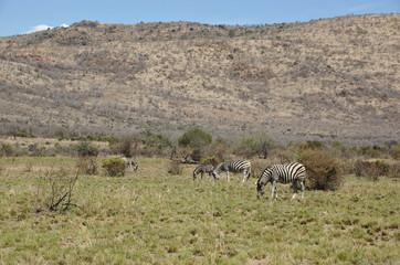 Zebra at Pilanesberg National Park, North West Province, South Africa