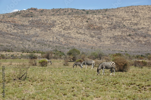 Zebra at Pilanesberg National Park, North West Province, South Africa - 252357123