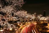 Japanese cherry blossom tree, sakura at night, city view