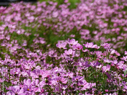 Cosmos flowers blooming in the garden - 252417760