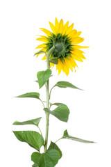 sunflower closeup on white background