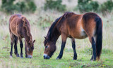 Fototapeta Konie - exmoor ponies in the landscape © Vera Kuttelvaserova