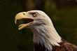 Bald Eagle bird head side portrait close up beak open tongue shown