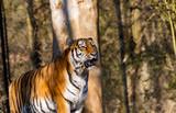 Ein Portrait von einem Tiger