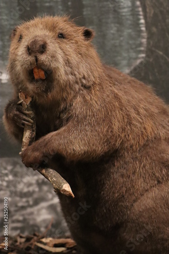 obraz lub plakat Beaver