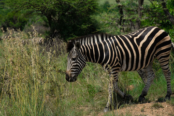 Zebra eating from a large patch of grass
